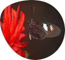 butterfly_ovale